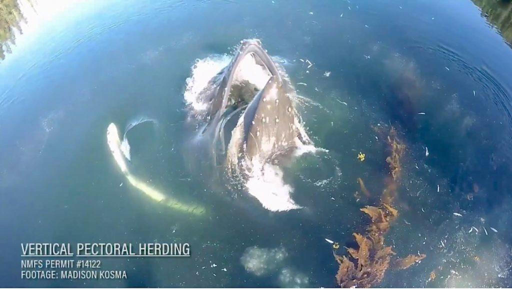 Humpback-in-water-w-title-Vimeo-video-researcher-Madison-Kosma-1.jpg